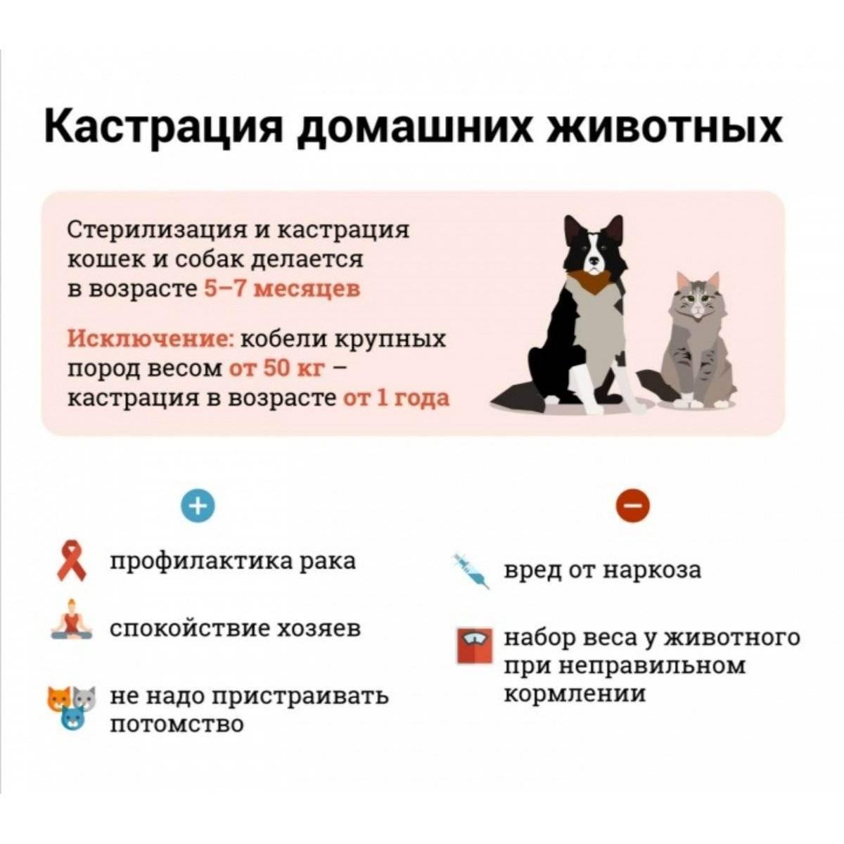 Стерилизация кошек: плюсы и минусы, когда и как проводится кастрация, рекомендации ветеринаров