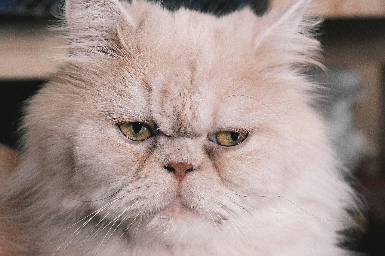 Сколько живут кастрированные коты персы - кошки и собаки