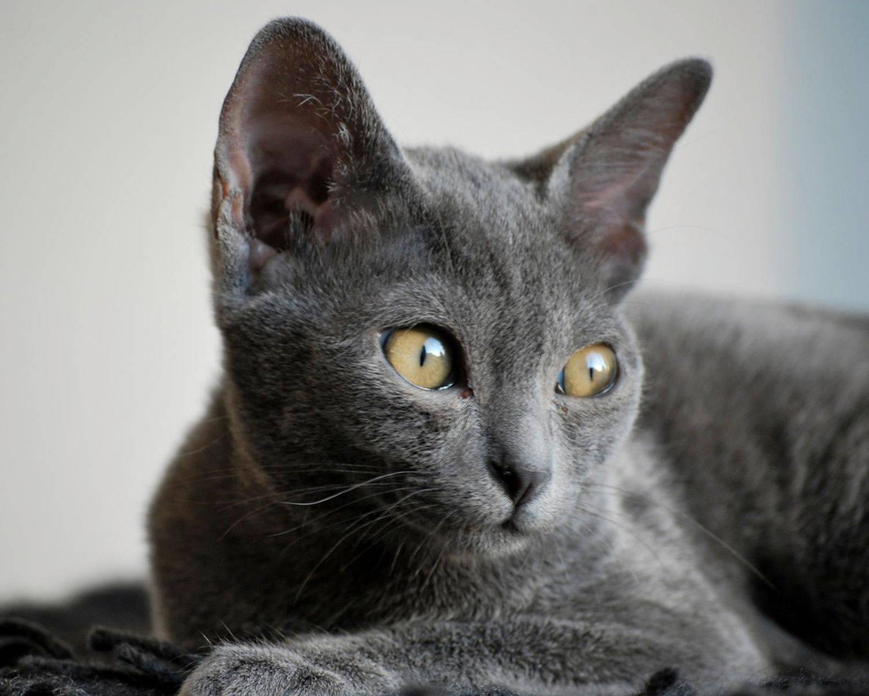 Порода домашней кошки корат: описание, цена, фото, характер, уход