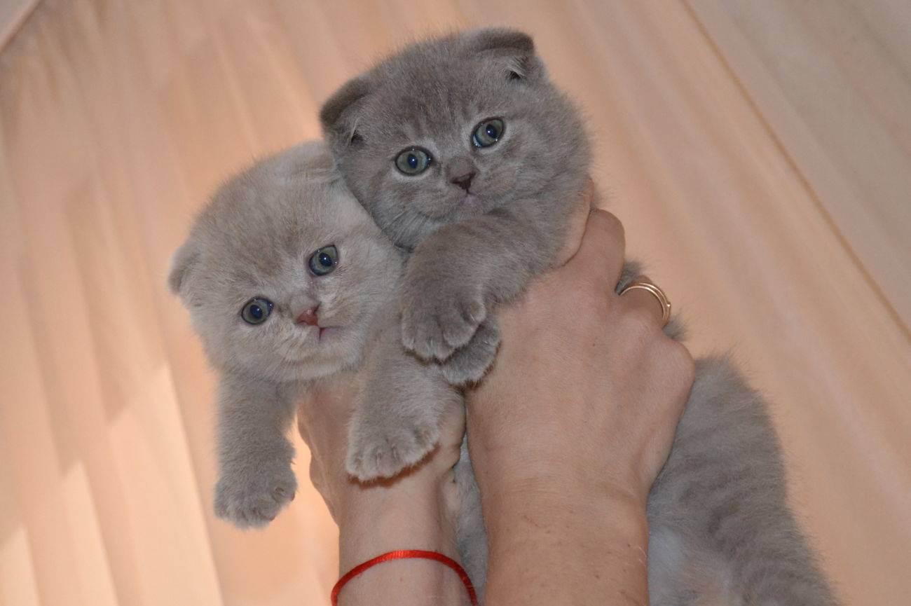 Британская кошка белого окраса