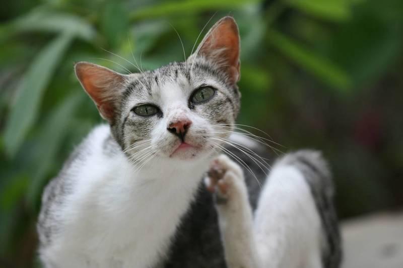 Как почистить коту уши (в домашних условиях) | кот и кошка