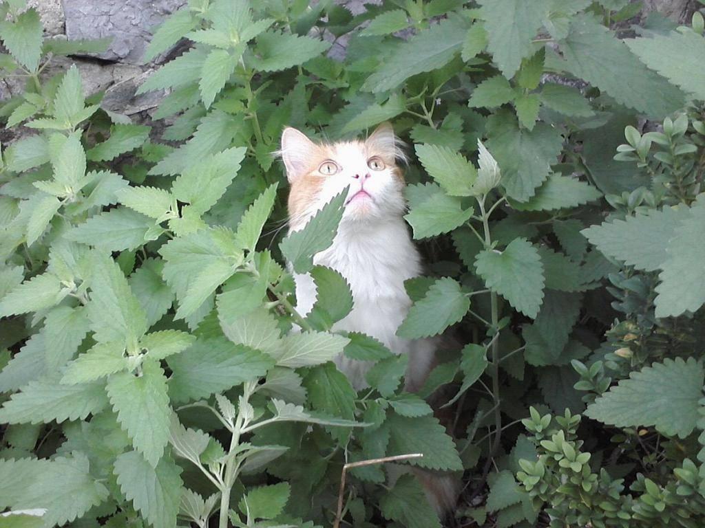 Кошачья мята: чем нравится, полезные свойства, как давать