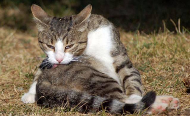 Почему коты чешутся и вылизываются? — полезно знать!