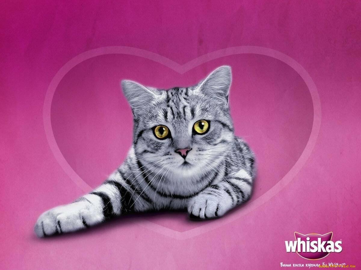 Окрас вискас: породы кошек с серебристо-мраморной черной шерстью