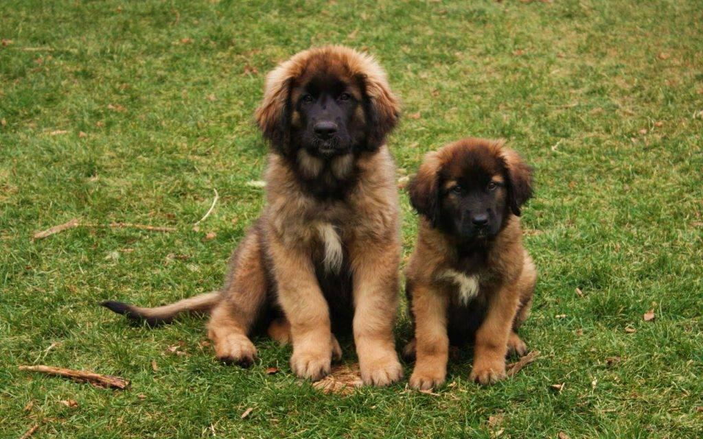 Сенбернар: все о собаке, фото, описание породы, характер, цена