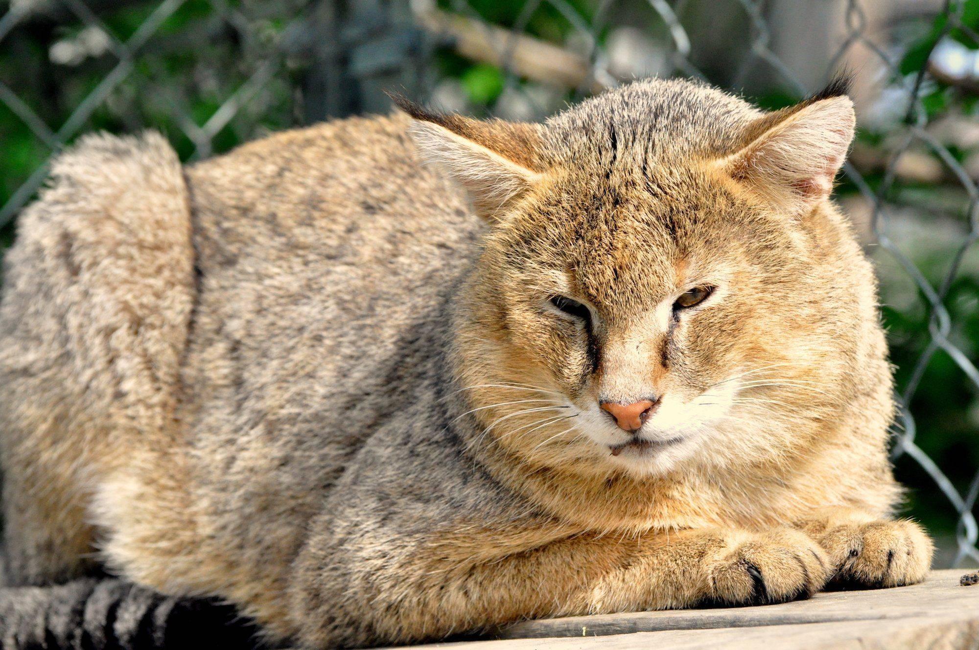 Камышовый кот: внешний вид, поведение, питание и содержание