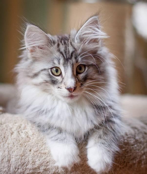 Норвежская лесная кошка (фото): доброта, облаченная в нордический характер - kot-pes
