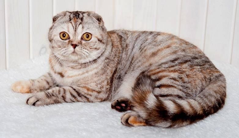 Окрасы шотландских вислоухих кошек: фото с описанием
