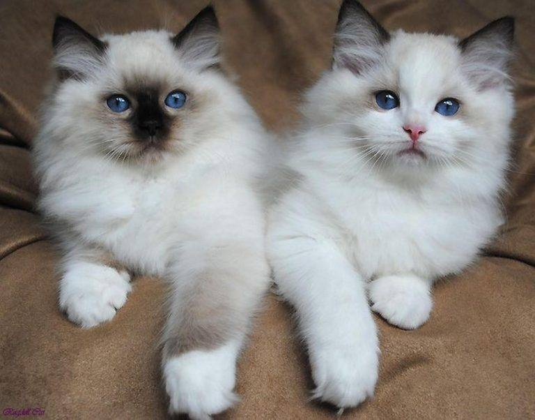 Рэгдолл: кошки и коты