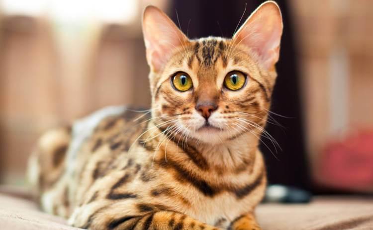 4 породы кошек, которые способны вылечить хозяина