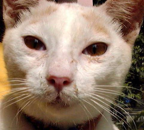 Кот чихает и кашляет чем лечить