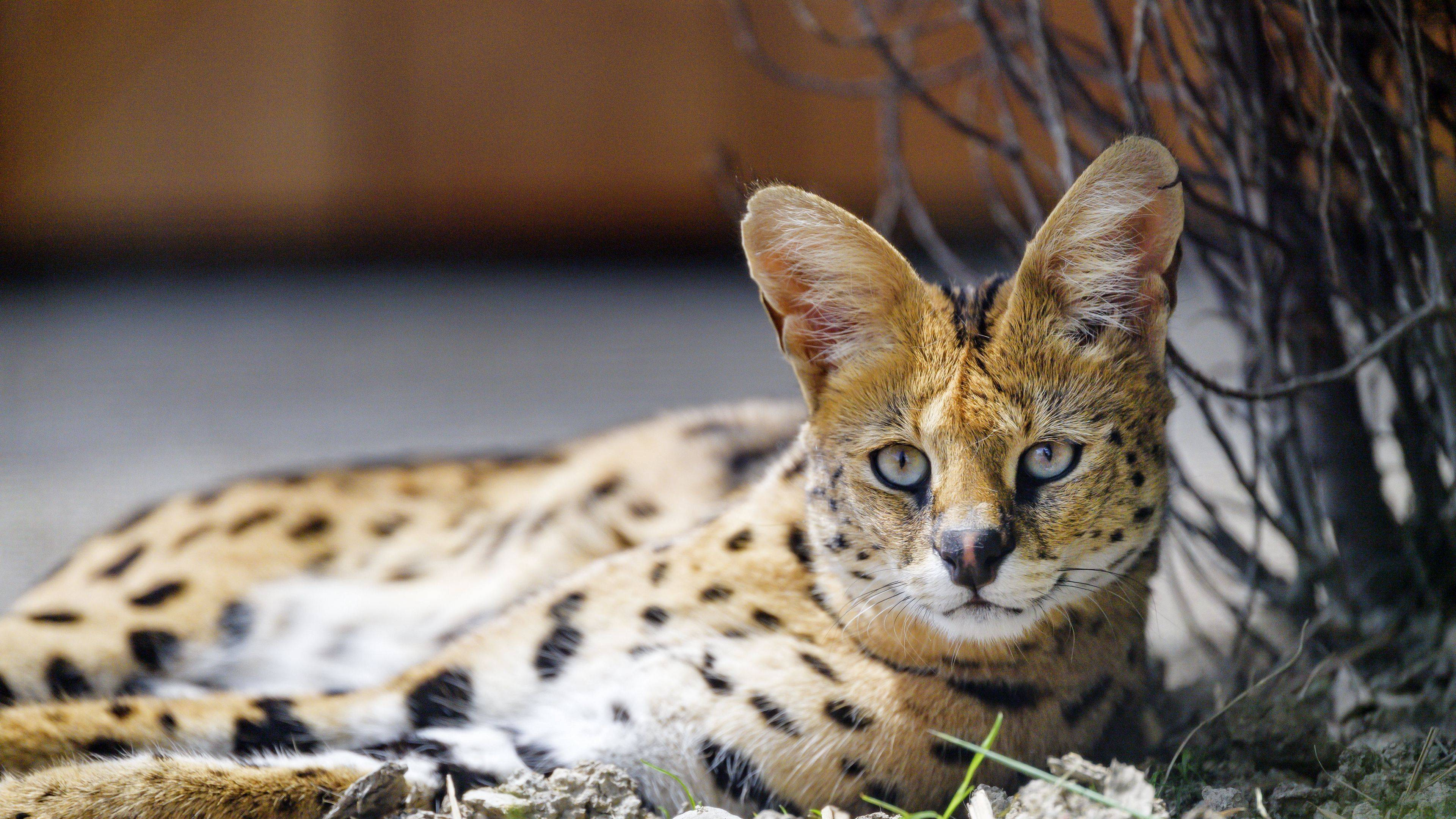 Кошка сервал: африканский дикий кот в домашних условиях, фото и описание