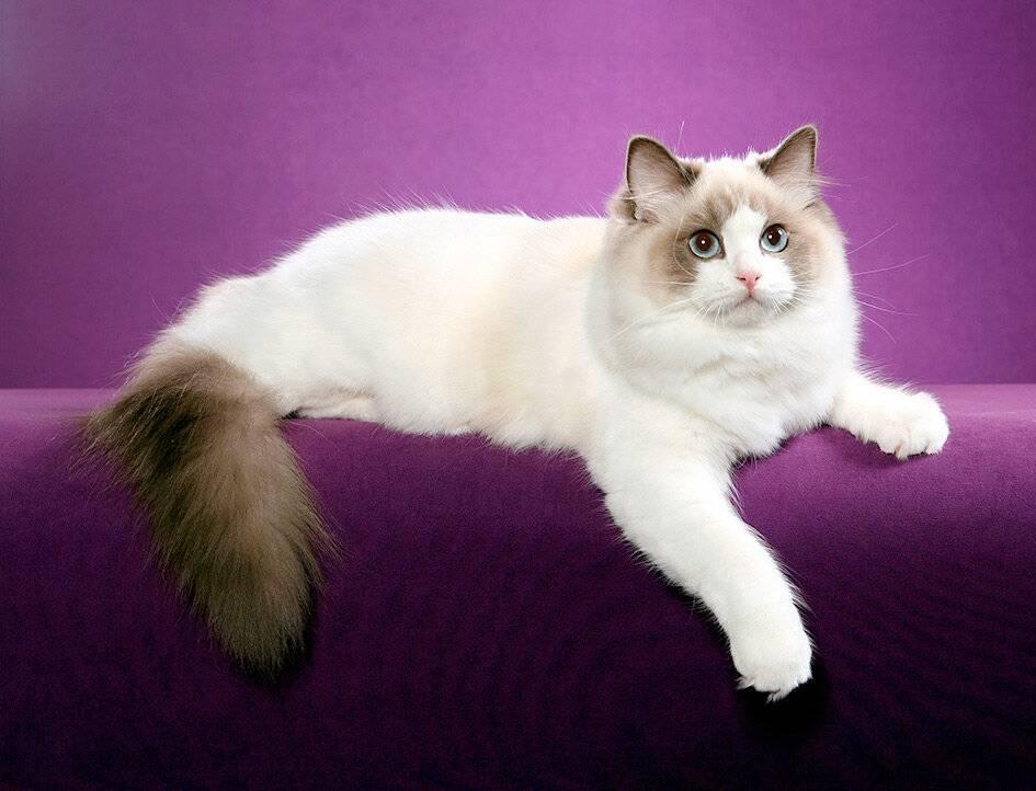 Характер кошек породы рэгдолл