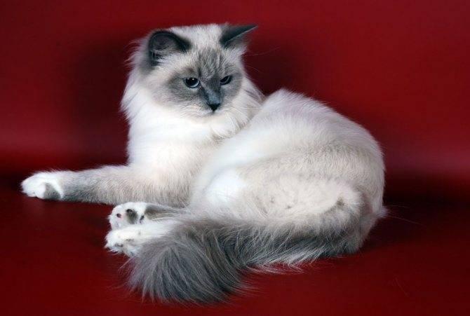 Сибирская маскарадная – красивая кошка в колор-пойнтовой маске