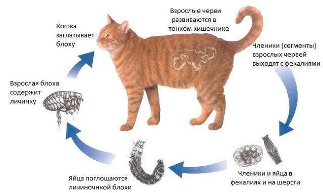 Кошку рвет шерстью. что делать? рвота кота шерстью