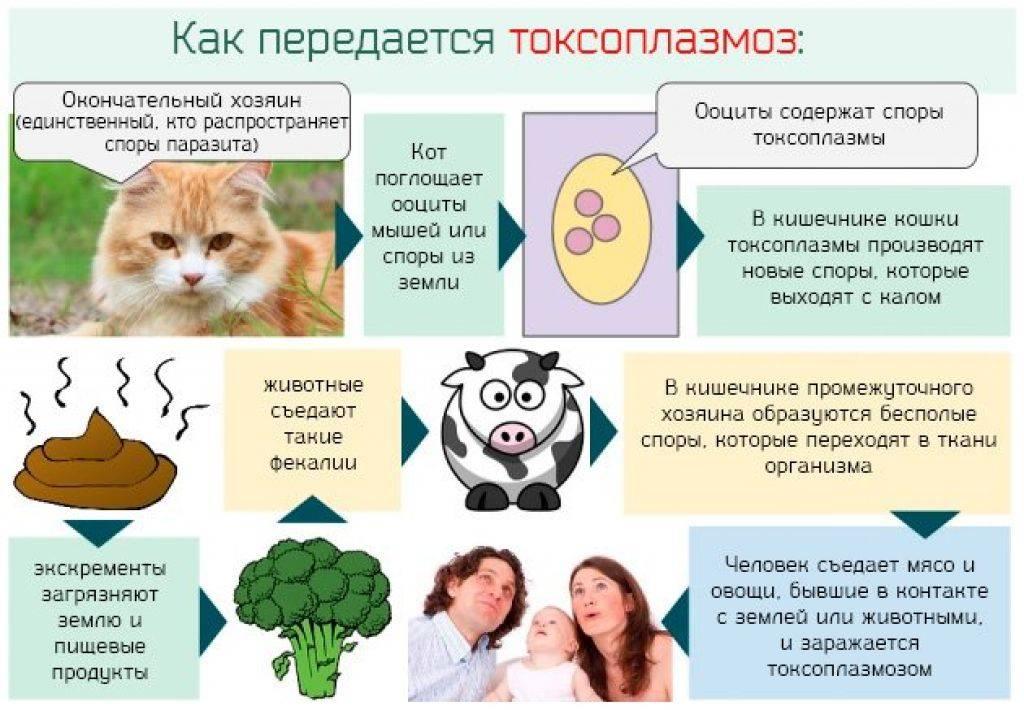 Как передается токсоплазмоз, можно ли избежать заболевания, если в доме живет кошка отравление.ру как передается токсоплазмоз, можно ли избежать заболевания, если в доме живет кошка