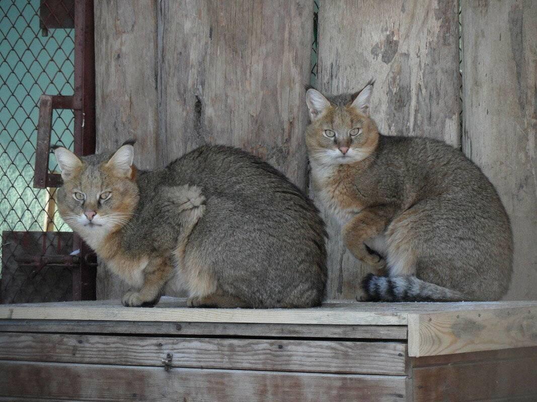 Дома камышовый кот (видео)