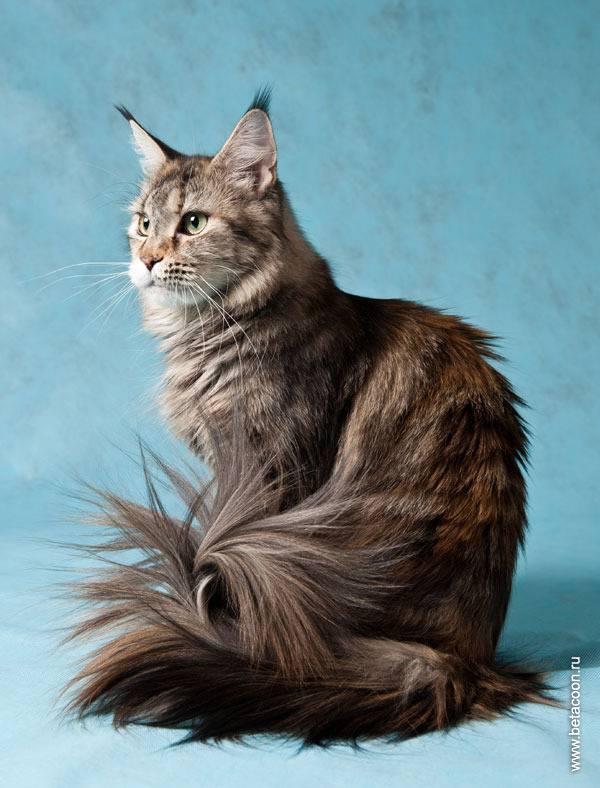 Как выглядят кошки с кисточками на ушах, их виды и фото пород