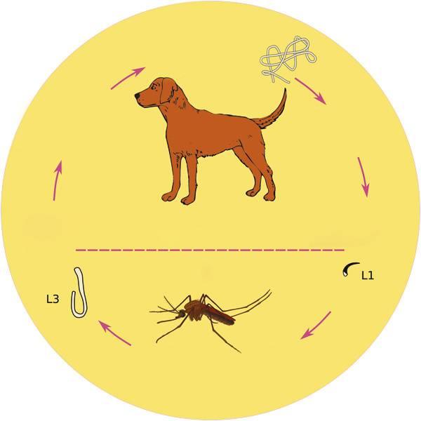Эндокардиоз у собак: причины, признаки и лечение
