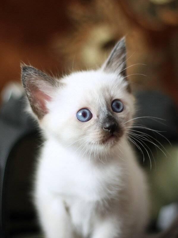 Как назвать сиамского кота - энциклопедия про кошек и собак