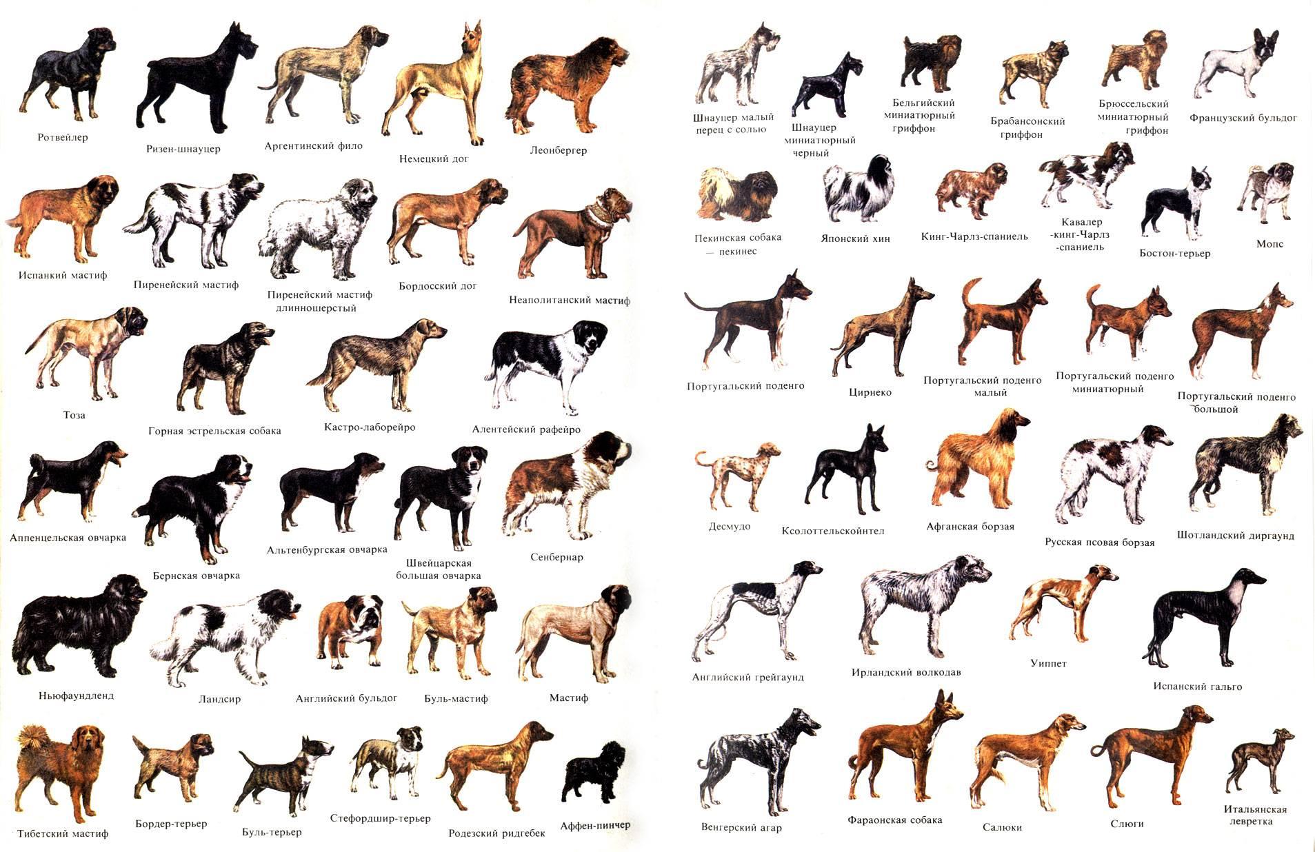 Собаки средней породы с названиями и фотографиями