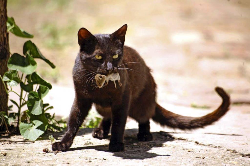 Как отравить кошку отравой для крыс и мышей
