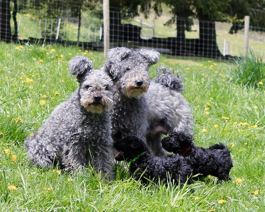 Кеесхонд собака. описание, особенности, уход и цена породы кеесхонд | sobakagav.ru