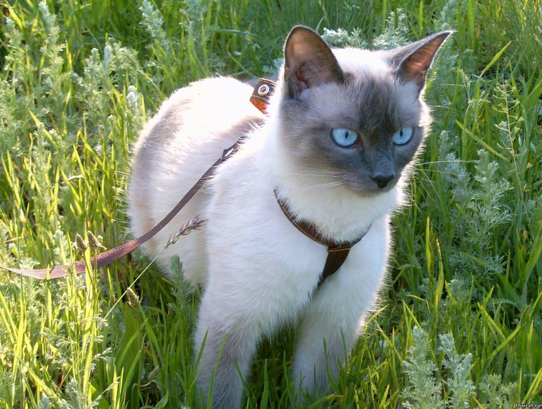 Тайская кошка – сочетание королевских повадок с неприхотливостью, лаской и умом