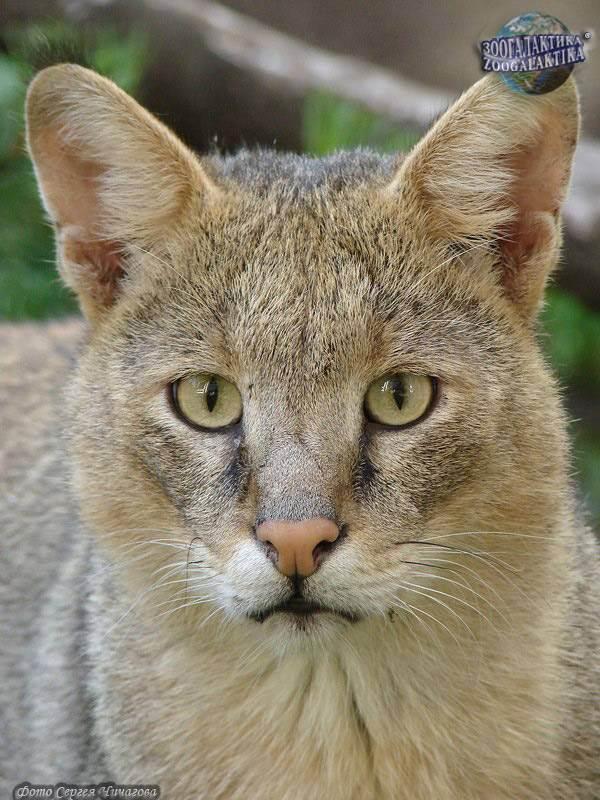 Камышовый кот (50 фото): сколько стоит, как выглядит, болотная рысь в домашних условиях, чем питается животное, какой породы котята
