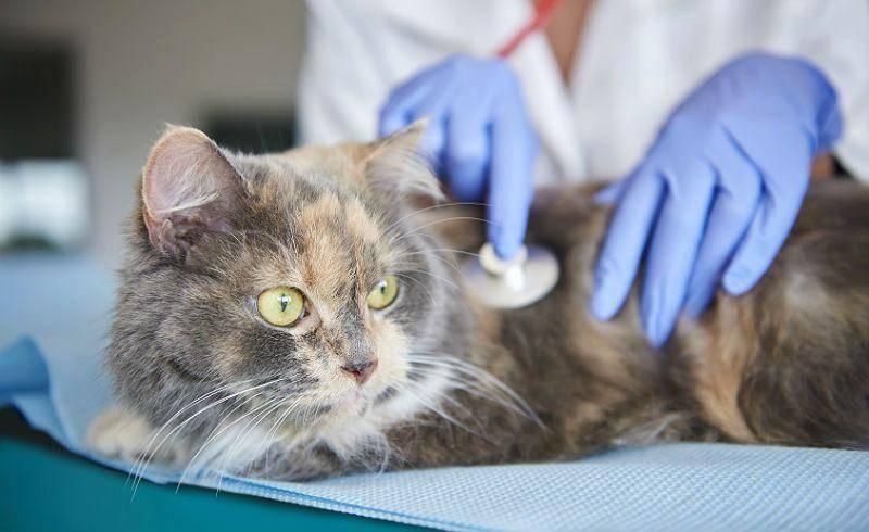 Почему у кота, кошки или котёнка рвота и как её вылечить