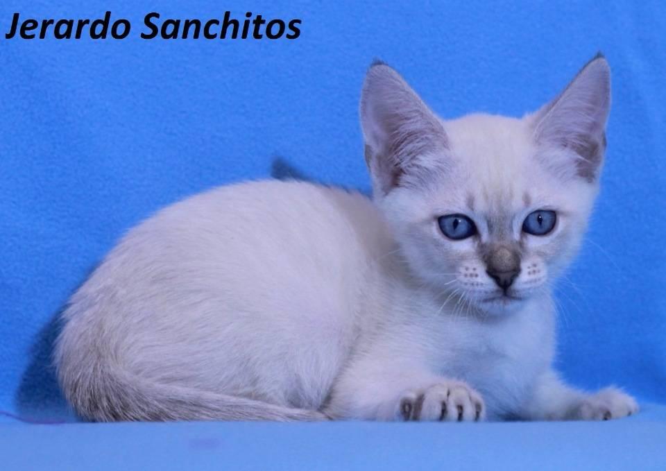 Тайская кошка: фото, описание породы, окрасы и характер, цена котенка