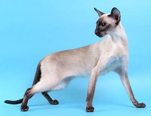 Порода кошек, похожая на сиамскую: список и описание