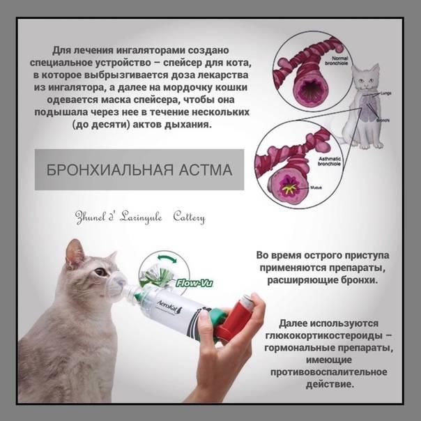 Астма у кошек: симптомы и лечение опасного заболевания