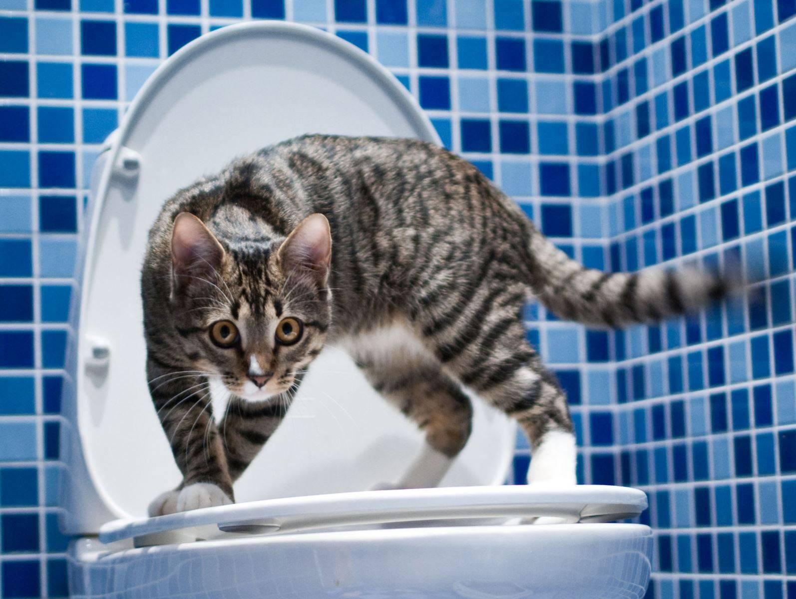 Сколько раз в день кошка должна ходить в туалет?