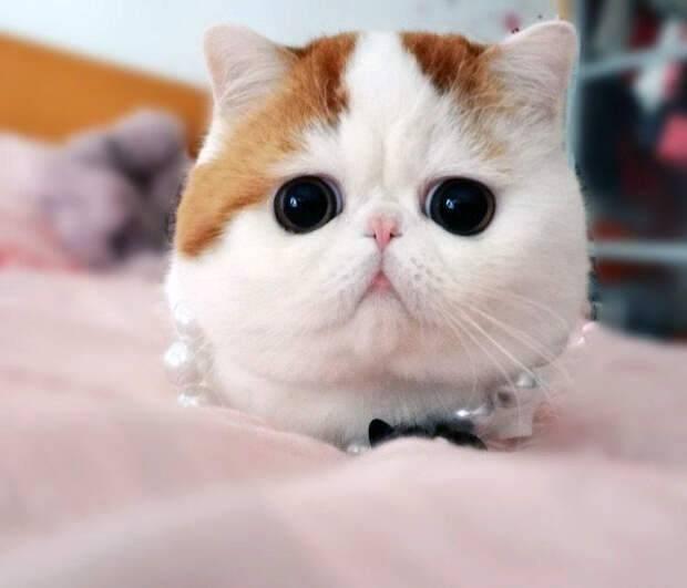 Кот с приплюснутой мордой название — выкладываем по полочкам