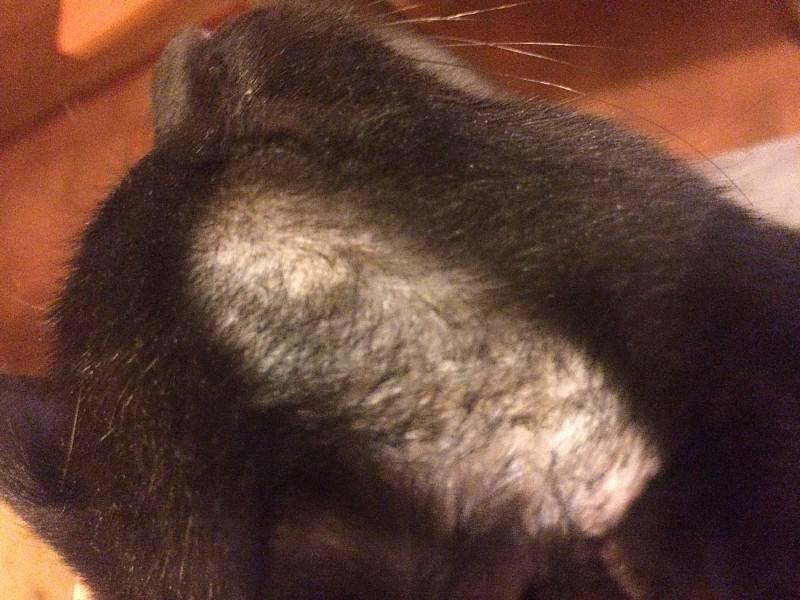 Из-за чего у кошек над бровями могут появляться залысины?