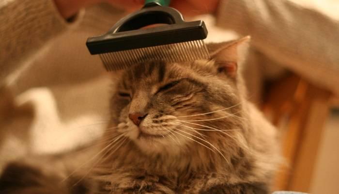 Как ухаживать за шерстью породистых кошек – ветеринарные клиники ушихвост, полный спектр услуг для животных.