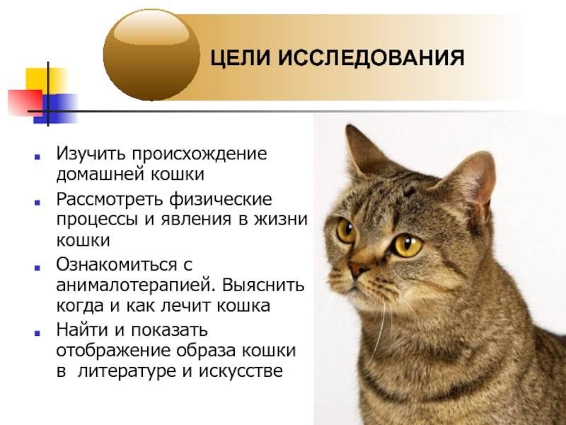 Сколько живут кошки британской породы в домашних условиях кастрированные и стерилизованные, продолжительность жизни