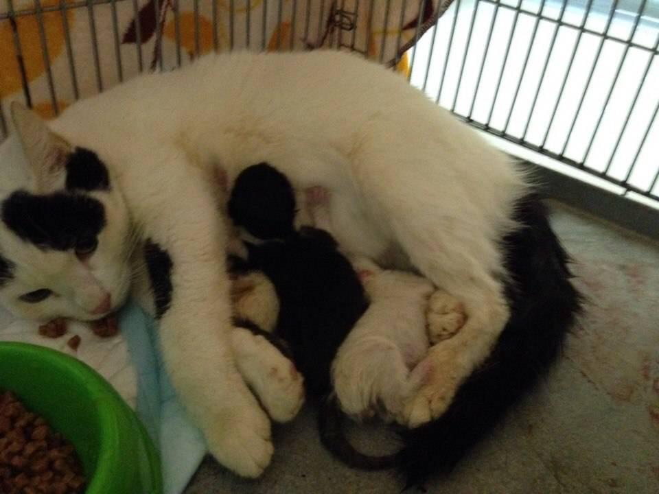 Сколько максимум котят может родить кошка - oozoo.ru