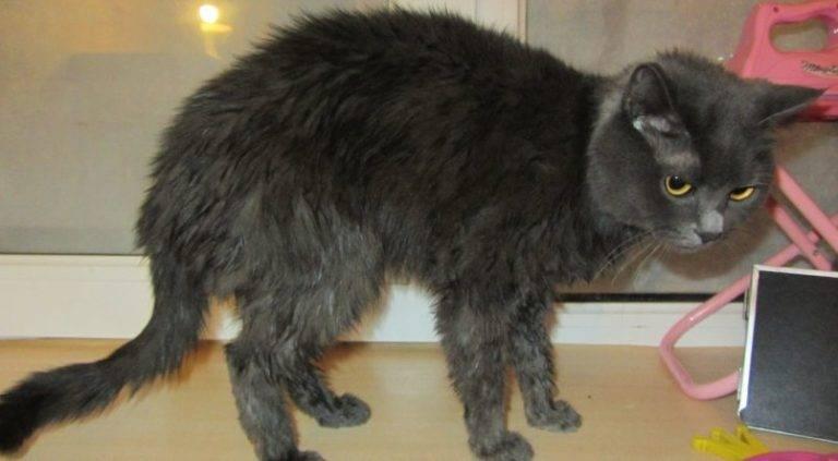 Что делать если кошка лысеет у хвоста