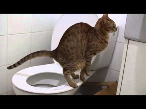 Запоры у кошек и методы борьбы с ними