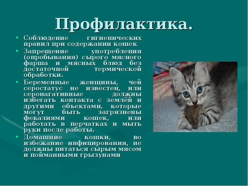 Токсоплазмоз у кошек: причины, симптомы, диагностика и лечение, меры профилактики