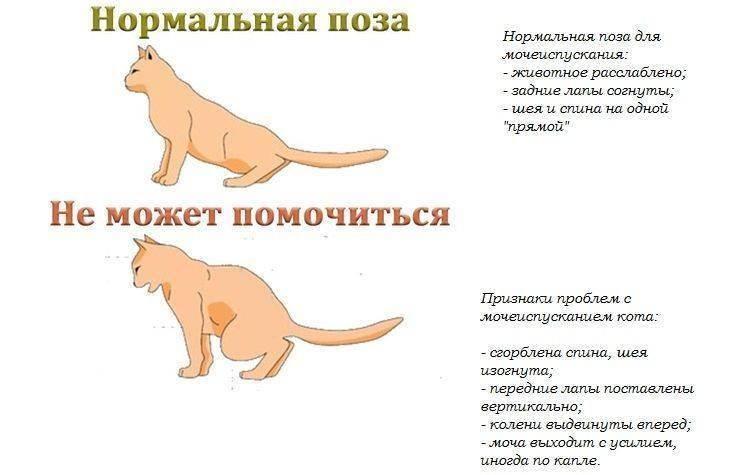Как заставить кота пописать?