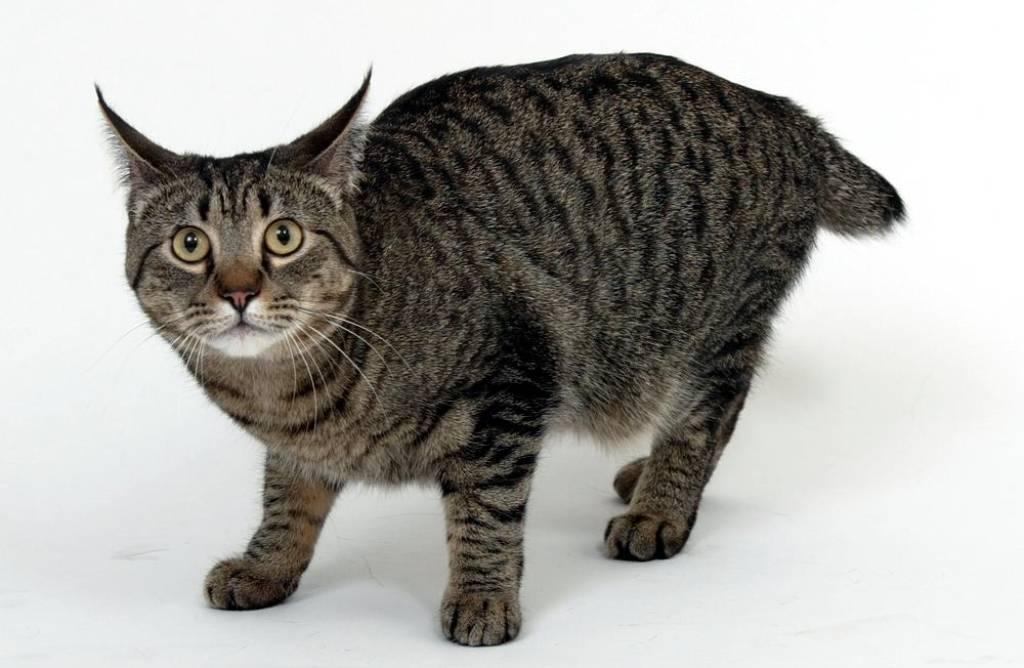 Породы кошек похожие на рысь: как они назваются их описания и фотографии