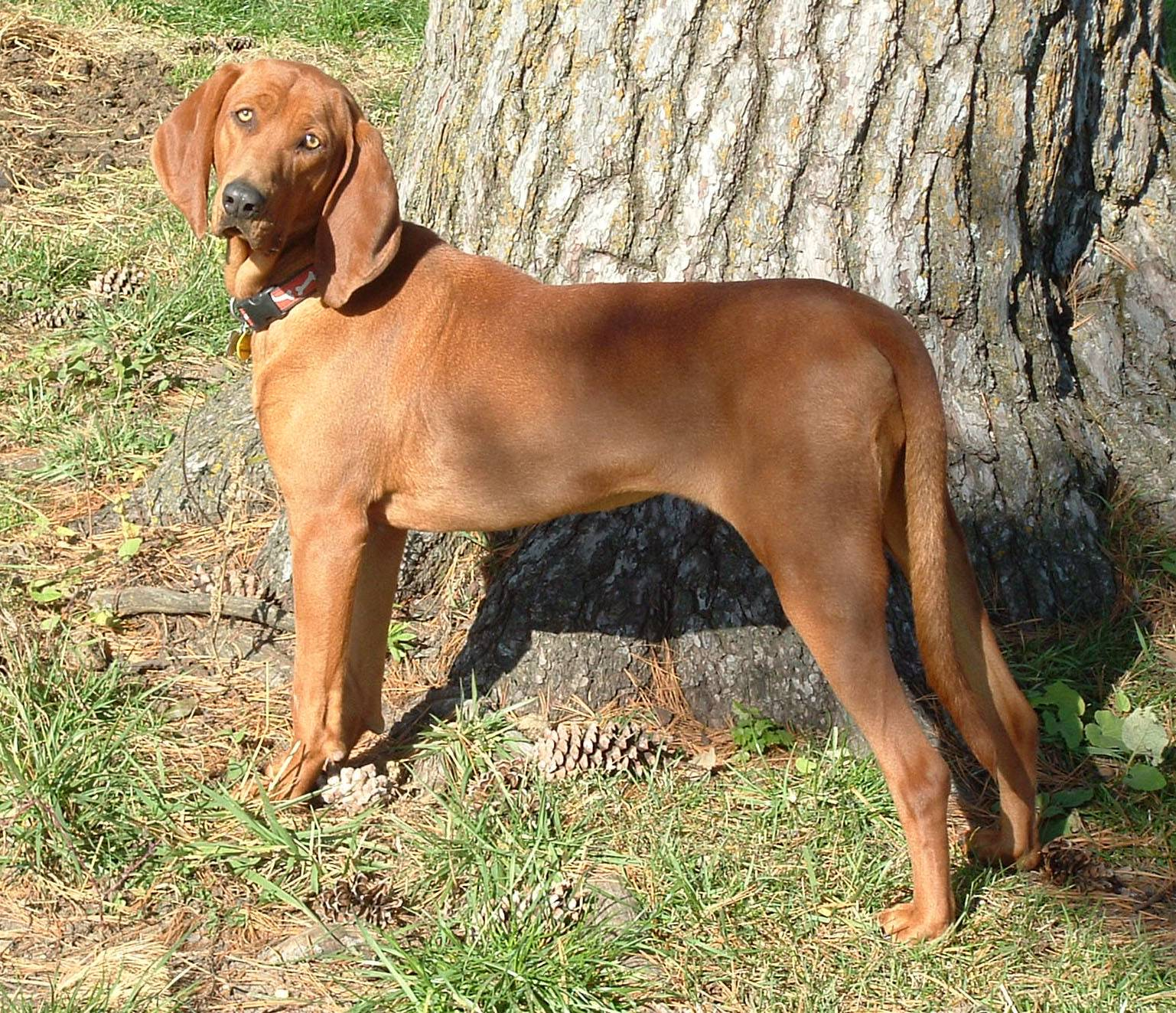 Кунхаунд (енотовая собака): рекомендации по уходу