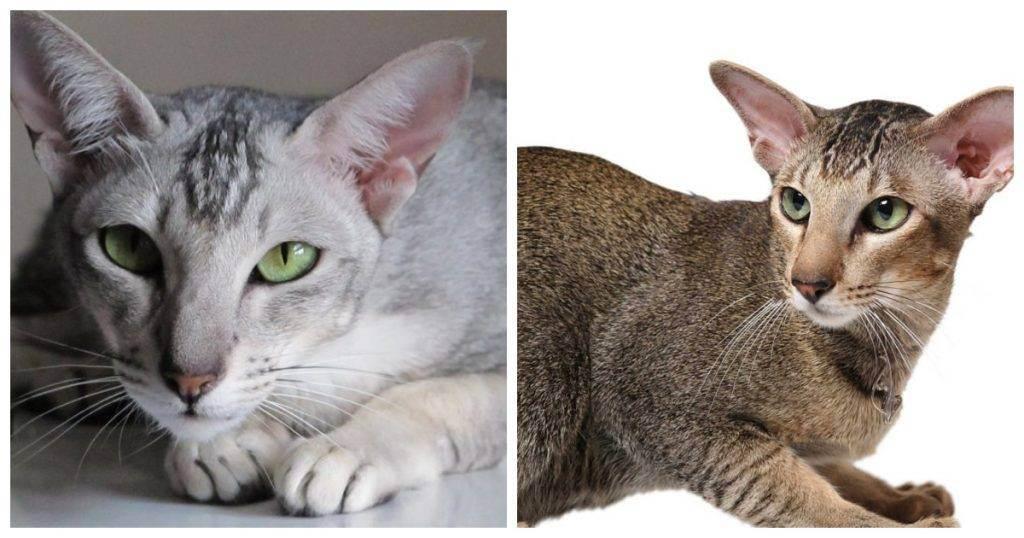 Ориентальная кошка: описание породы, характер, цена, содержание и уход, фото
