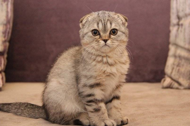 Скоттиш фолд — описание породы, характер и варианты окраса породистых шотландских вислоухих кошек (135 фото)