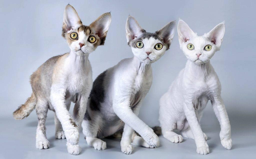 Девон рекс - описание породы и характер кошки