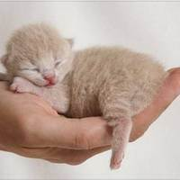 Осложнения после родов у кошек. 8 возможных последствий