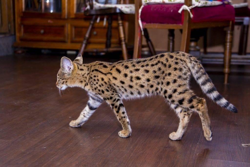 Саванна: фото кошки, цена котенка, описание характера и внешнего вида породы